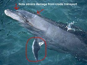 Scandale au Mexique dauphins captifs morts